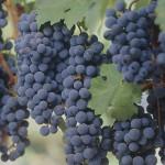 Blaauwklippen Zinfandel grapes
